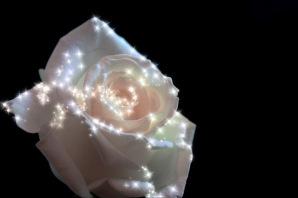 rosa brilhante