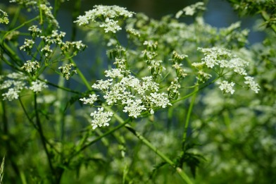 pointed-chervil-474765_1920